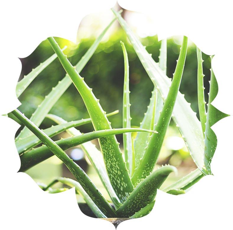 UV-Ingredients-Aloe-Vera
