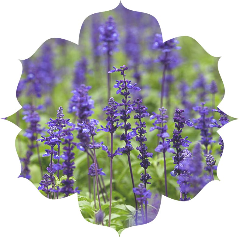 Clary Sage ingredient in skincare