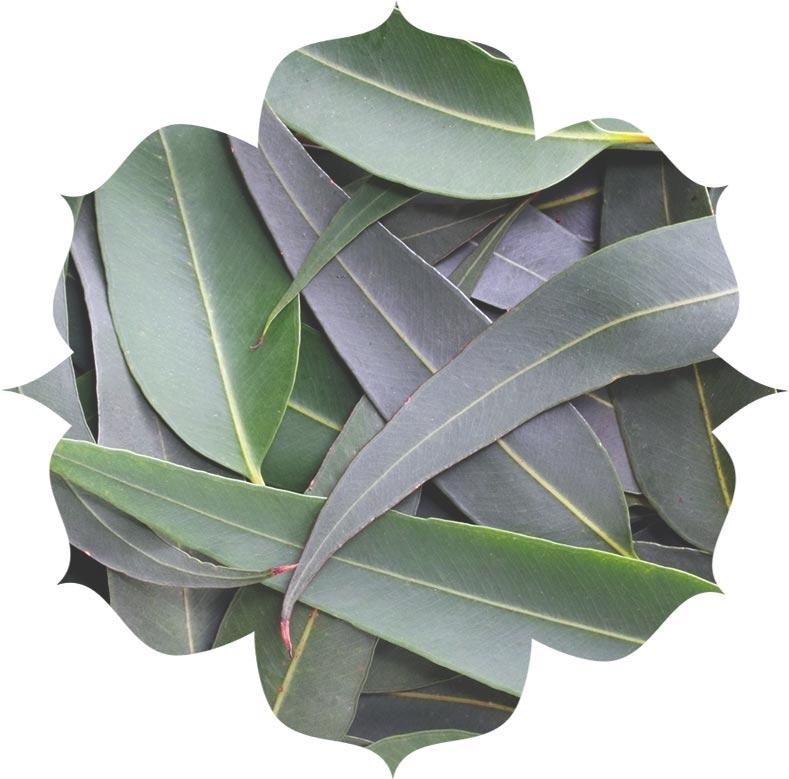 Eucalyptus ingredient in urban veda skincare