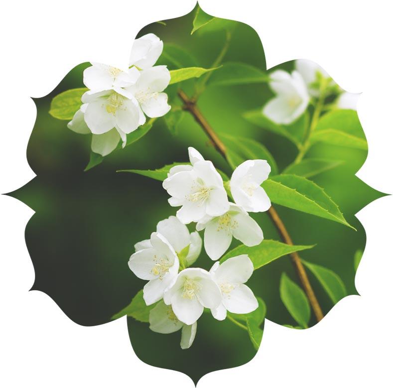 Jasmine ingredient in skincare