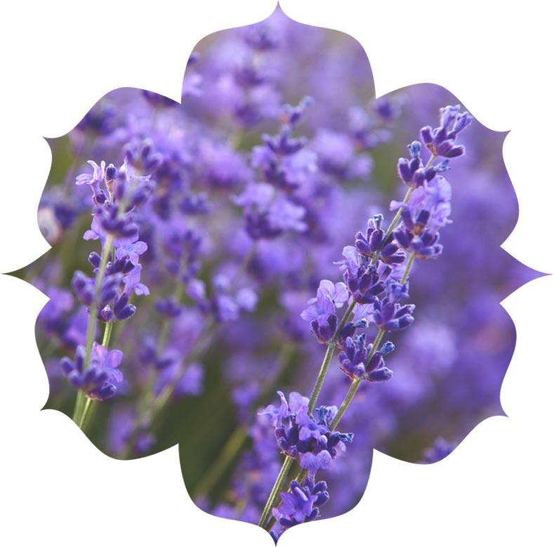 Lavender ingredient in urban veda skincare