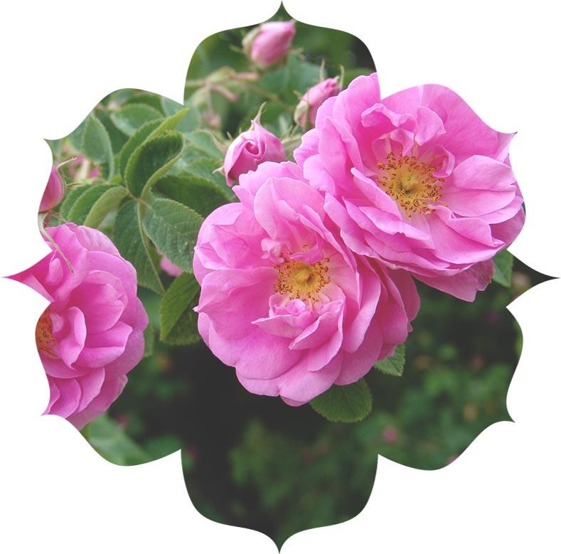 Rose Damask ingredient in skincare
