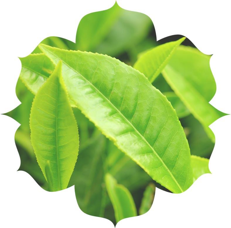 Tee Tree ingredient in urban veda skincare